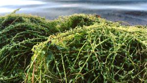 Gröna vattenväxter, vattenpest, har krattats upp på en strand.