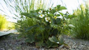 Närbild på en planta med jordgubbbe och ängssvingel.