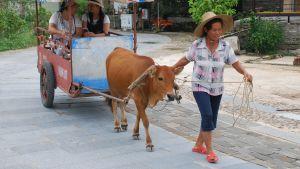 En kvinna i flätad hatt leder en oxe som är spänd framför en enkel kärra med soltak. I kärran sitter två turister.