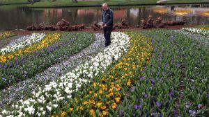 Trädgårdsmästaren André Beijk tar hand om tulpanerna i tulpanparken Keukenhof.