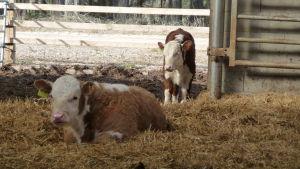 två bru-vita kalvar. en aligger på halmen, andra står. ganska små. Under tak i ett lösdriftsstall i Bromarv, Rilax gård