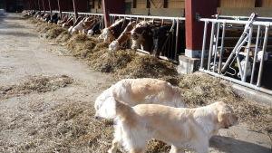 Kor i lösdriftsstall,äter hö. På bilden också två hundar, ljus labrador