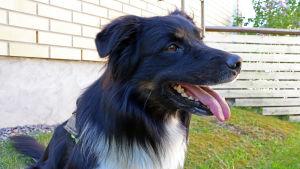 En hund som sitter på gräset med tungan hängandes ut ur munnen.