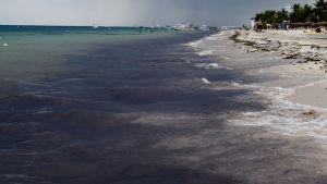 Tång flyter i havet längs en vit sandstrand.