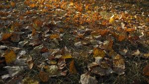 Koivun kellastuneita lehtiä nurmikolla