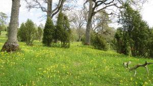 En grönskande äng med med barrträd och lövträd i bakgrunden.