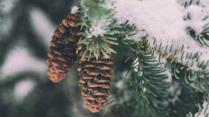 lumiset kuusen oksat joissa käpyjä