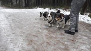 En mycket hal väg där en person är ut och går med sina hundar.