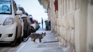 Kulkukissa kadulla, Malta, 6.5.2018.