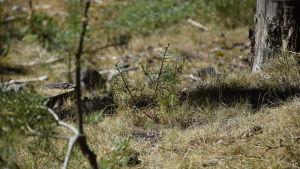 En bild närbild på torrt gräs och tallplantor. Gräset är blekt.