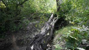 En trädstam i en bäck. Ett band är bundet runt stammen.