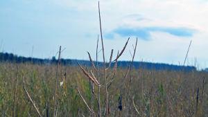 Bild på en rypsväxt som är helt tom, bara skalet finns kvar.