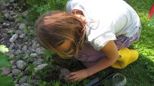 Emelie Munsterhjelm tittar under en sten efter insekter.