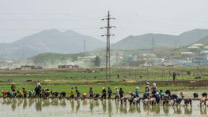 Spannmålspriserna har inte stigit, vilket tyder på att Nordkorea inte lider av akut matbrist just nu.