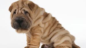 en skrynklig shar pei hund
