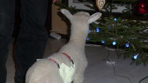 Ett litet vitt lamm som doftar på en julgran inne i ett café. Lammet bär blöja.