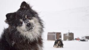 Äijä-koira lumisateessa.
