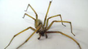 Kotihämähäkki (Tegenaria domestica)