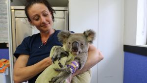 Sairaanhoitaja pitää loukkaantunutta koalaa sylissään.
