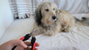 Hand med klosax, i bakgrund en hund som tittar bort.