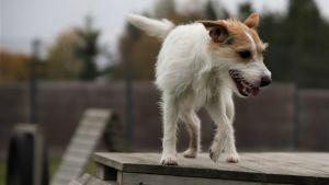 Hunden Parson, en parson russell terrier, på en klätterställning utomhus.
