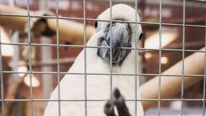 Kakadun Juuso sitter i sin bur och stirrar rakt in i kameran.