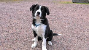 En svartvit hundvalp sitter på en grusplan och tittar in i kameran.