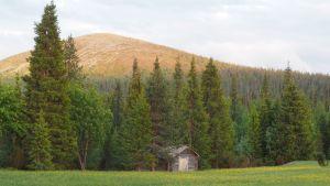 Kesäyö tunturin juurella, pieni lato ja sen edessä niittyleinikkejä
