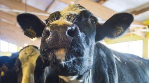 Lehmä puolankalaisessa navetassa.