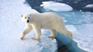 Isbjörn går över smältande is.