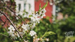 Omenapuu kukoistaa Södra Vallgrundissa.