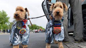 Två hundar i ryska kamouflagedräkter i Berlin den 9 maj, Segerdagen.