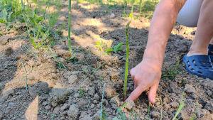 En arm och hand som pekar på en stjälk sparris som växer i jorden.