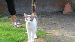 En katt med vit päls och grå och bruna fläckar. Sommar och ute. Man ser lite av en kvinnofot.