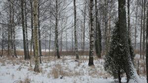 En bostadsmässa ska ordnas i Ingå 2022. Här syns en massa björkar och andra träd vid stranden i kyrkbyn.
