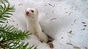 Luontodokumentti seuraa läheltä suomalaisen luonnon selviytyjiä.