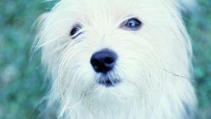 Liten vit hund.