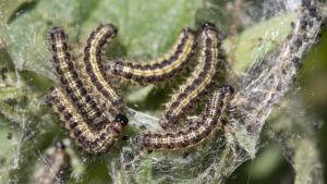 Sex nässelfjärilar i brunt och beige ligger tätt på blad.