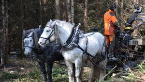 Två hästar drar ett lass med virke i en skog, en man står och håller i tyglarna.