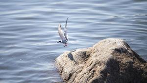 Kalatiira lähdössä lentoon kiveltä.