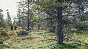 Kaksi henkilöä vaeltamassa kitukasvuisen metsän keskellä Lapissa.