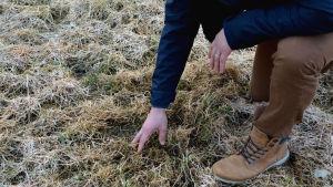 En hand som gräver runt i torrt gräs för att hitta nygrott gräs