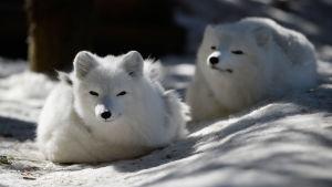 Fjällrävar på Nordpolen.