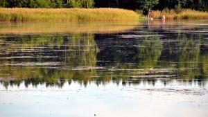 Vatten omringat av vass. På ytan flyter sjögräs.