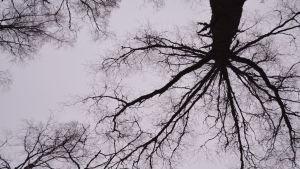 Fullt av kvistar och grenar. Det ser ut som ett nätverk. Träden sett nerifran då du ligger pa marken.