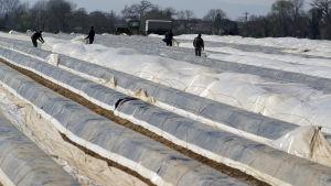 Säsongarbetare jobbar vid sparrisodling i Tyskland