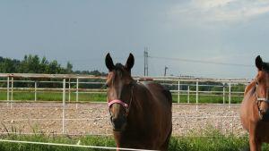 Hästar vid Lovisa travbana