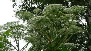 Bild på blommande jätteloka