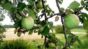 Äpplen på Änglagård