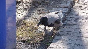en fågel som letar efter mat